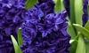 Hyacinth Rembrandt Bulbs
