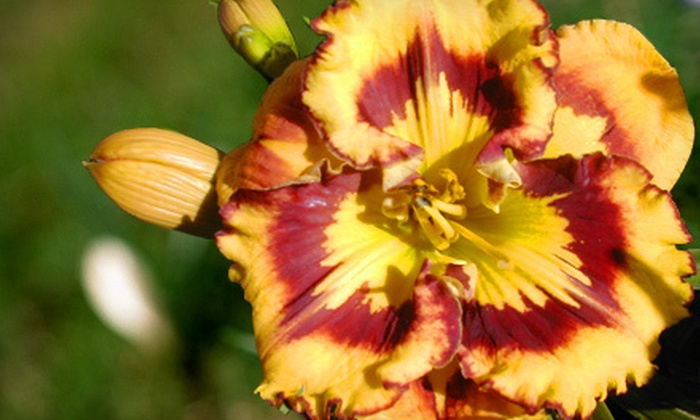 Urban Oasis - Victoria: Hybrid Day Lilies at Urban Oasis (Up to 53% Off). Two Options Available.