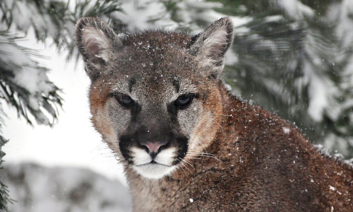 Cougar Mountain Zoo - Montreux: $69 for a Zoo Outing for Two, Including a Lemur Encounter at Cougar Mountain Zoo ($205 Value)
