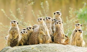 Hawks Of Steele: Meet a Meerkat Experience from £19 at Hawks of Steele (Up to 65% Off)