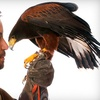 Up to 75% Off Falconry Demonstration in Abington