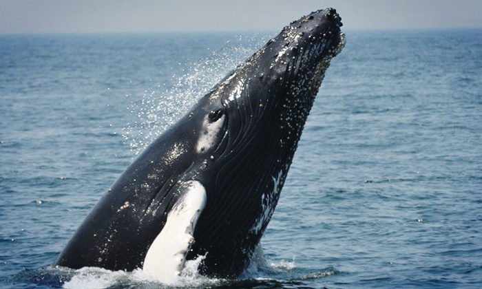 A Cape Ann Whale Watch - Central Gloucester: $29 for a Whale-Watching Cruise from Cape Ann Whale Watch (Up to $48 Value)