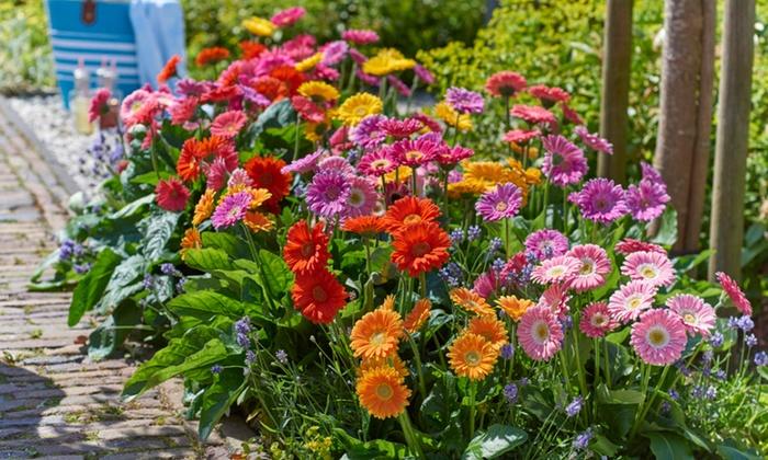 Gerbera garvinea plant groupon for Gerbera in de tuin
