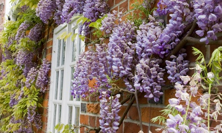Scented Wisteria up to 3 Potted Plants