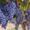 Up to 54% Off Winery Tour, Tasting, and Restaurant Fare