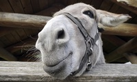 Christmas Donkey Experience with Hot Chocolate for Two or Four at Shorelands Wildlife Centre