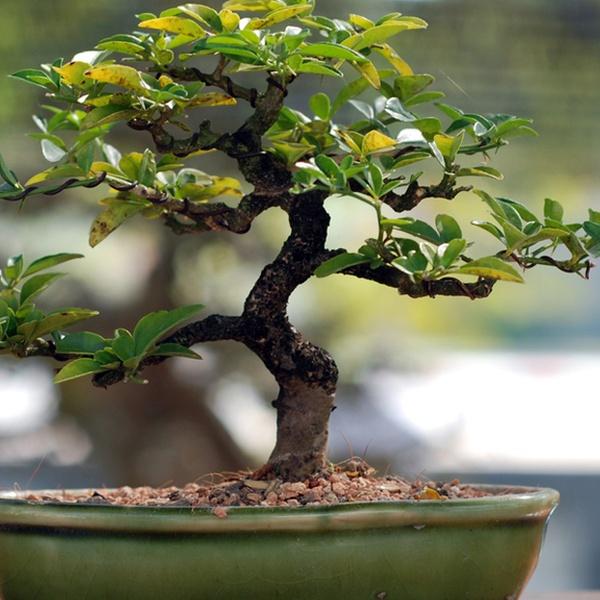 Bonsai Tools And Garden Tour Miami Tropical Bonsai Groupon