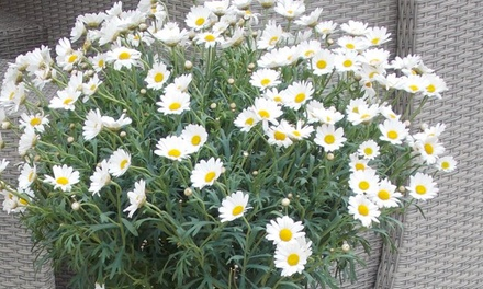 Two Giant Marguerite Daisy Trees Groupon Goods