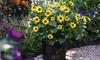 Helianthus Sunbelievable Golden Girl 9cm Pots – 1 or 2 Plants