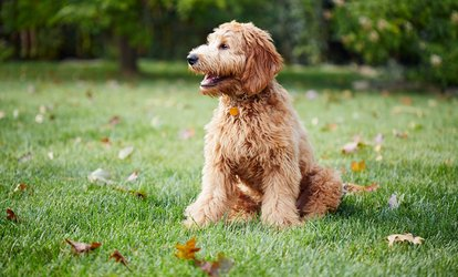 image for Dog Behavior and Training Online Course with International Open Academy (95% Off)