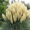 Lot de 3 plantes herbe des Pampas