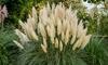 2x oder 4x XL-Pampasgras-Pflanze