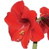 Three-Pack of Mixed Red or Pink Amaryllis Bulbs