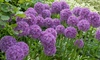 50 Bulbs of Allium Violet Beauty