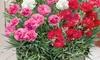 Scented Dianthus Mix Plant