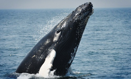 $29 for One Adult Ticket to Any Whale-Watching Cruise from Cape Ann Whale Watch (Up to $48 Value)