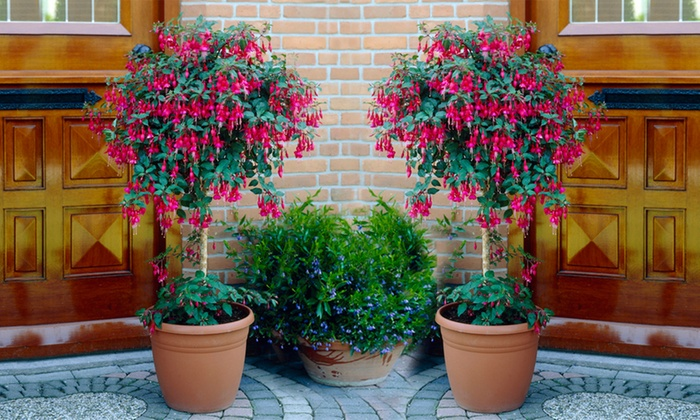 One or Two Fuchsia Standard Trees (£15.98)