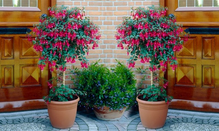 One or Two Fuchsia Standard Trees