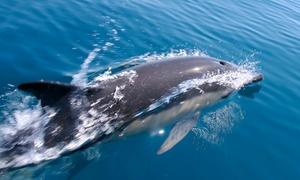 Fisherman's Wharf: Dolphin-Watching Cruise or Dolphin- and Whale-Watching Cruise for Two or Four from Fisherman's Wharf (50% Off)