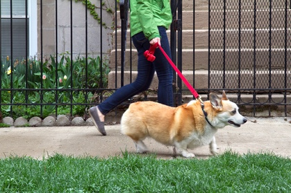 One Dog-Walking Session or One Week of Dog Walking from Angelic Paws Pet Services (Up to 59% Off)