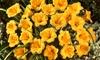 Stella de Oro Bare Root Plants: 21-Pack of Stella de Oro Bare Root Plants