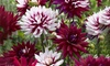 Pre-Order: Dahlia Flower Bulbs (5-Pack): Pre-Order: Dahlia Flower Bulbs (5-Pack)