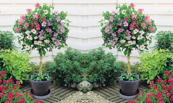 60cm Hibiscus Tri Colour Standard Groupon Goods