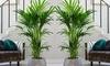 Kentia Palmtree Plant