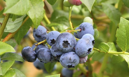 Blueberry 'Duke' plant geleverd in een pot van 9 cm