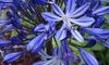 Agapanthus Blue Ribband Plant