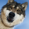 Up to 21% Off Admission to Wolf Mountain Sanctuary