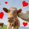 Adotta una mucca: ritira i suoi prodotti in Valsesia