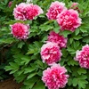 Flowering Peony Trees (Assorted Colors)
