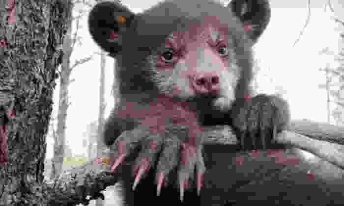 Bearizona - Bearizona: $20 for a Weekend Visit for Two to Drive-Thru Wildlife-Park at Bearizona (Up to $40 Value)