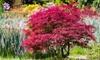 Plantes Acer Palmatum