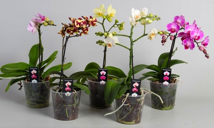 Three Assorted Moth Orchids in White or Black Pots