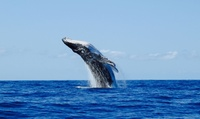Whale Watching and Sightseeing Tour for One, Two, Four, or Six from Hilo Ocean Adventures (Up to 43% Off)