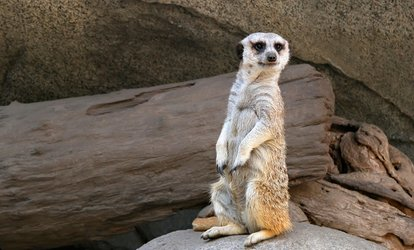 image for Meet the Meerkat Experience for One or Two at The Animal Experience (Up to 56% Off)