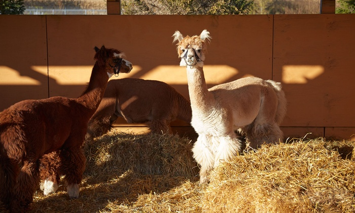 Alpaca Experience for Two, Three Four at Kenward Place