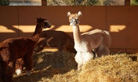 Two-Hour Alpaca Experience for Two, Four or Six at Faerie Tale Alpacas