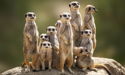 30Minute Meerkat Experience, Park Entry, Cream Tea for Two or Four at Willow Tree Family Farm
