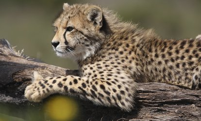 Wild Live Safari Nights: Safari Experience on 4, 11, 18 and 25 August at Yorkshire Wildlife Park (Up to 50% Off)