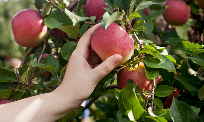 Dodd's Hillcrest Orchard - Amherst: $16 for an Orchard Day for Four at Hillcrest Orchard ($32 Value)