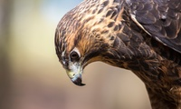 Birds of Prey Experience for One or a Guided Hawk Walk for Up to Four at Riverside Falconry (Up to 68% Off)