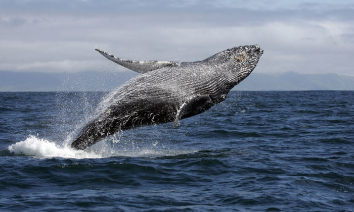 L.A. Harbor Sportfishing - Long Beach: 2.5-Hour Whale-Watching Cruise for One, Two, or Four from L.A. Harbor Sportfishing (Up to 61% Off)