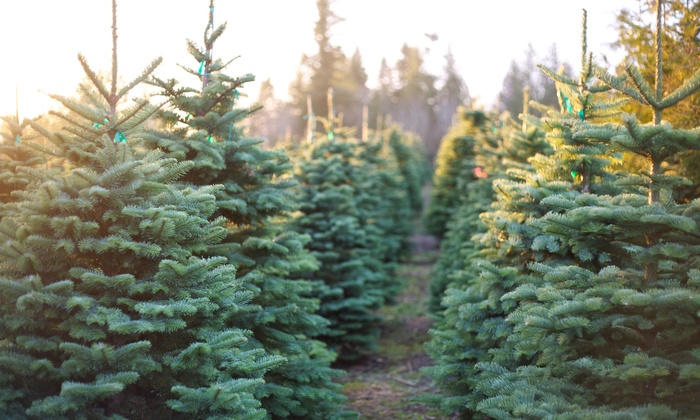 Hilltop Christmas Tree Farms: Christmas Tree with Delivery from Hilltop Christmas Tree Farms (Up to 49% Off). Two Options Available.