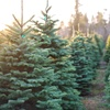 Real Christmas Trees, Multiple Locations
