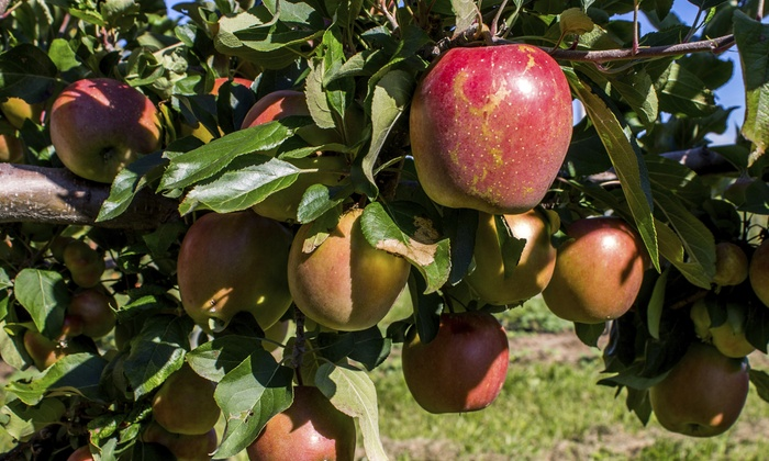 Horse Listeners Orchard - Horse Listeners Orchard: $15 for Pick-Your-Own Cortland Apples Up to 20 Lbs. or Half-Bushel at Horse Listeners Orchard ($24 Value)