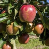38% Off Pick-Your-Own Cortland Baking Apples