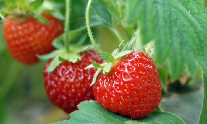 Burr's Berry Farm - Goulds: $12 for $20 Toward Strawberry and Vegetable Picking at Burr's Berry Farm